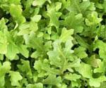 arugula, an aphrodisiac food