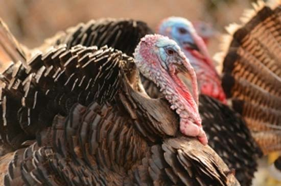two heritage turkeys to illustrate choosing a Thanksgiving bird