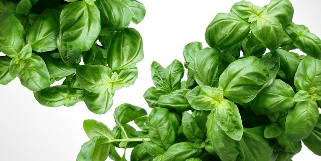 two bunches of green, Sweet Basil on a white background
