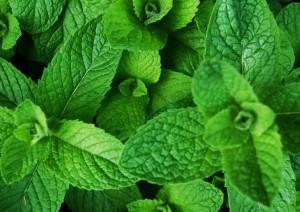 aphrodisiac mint