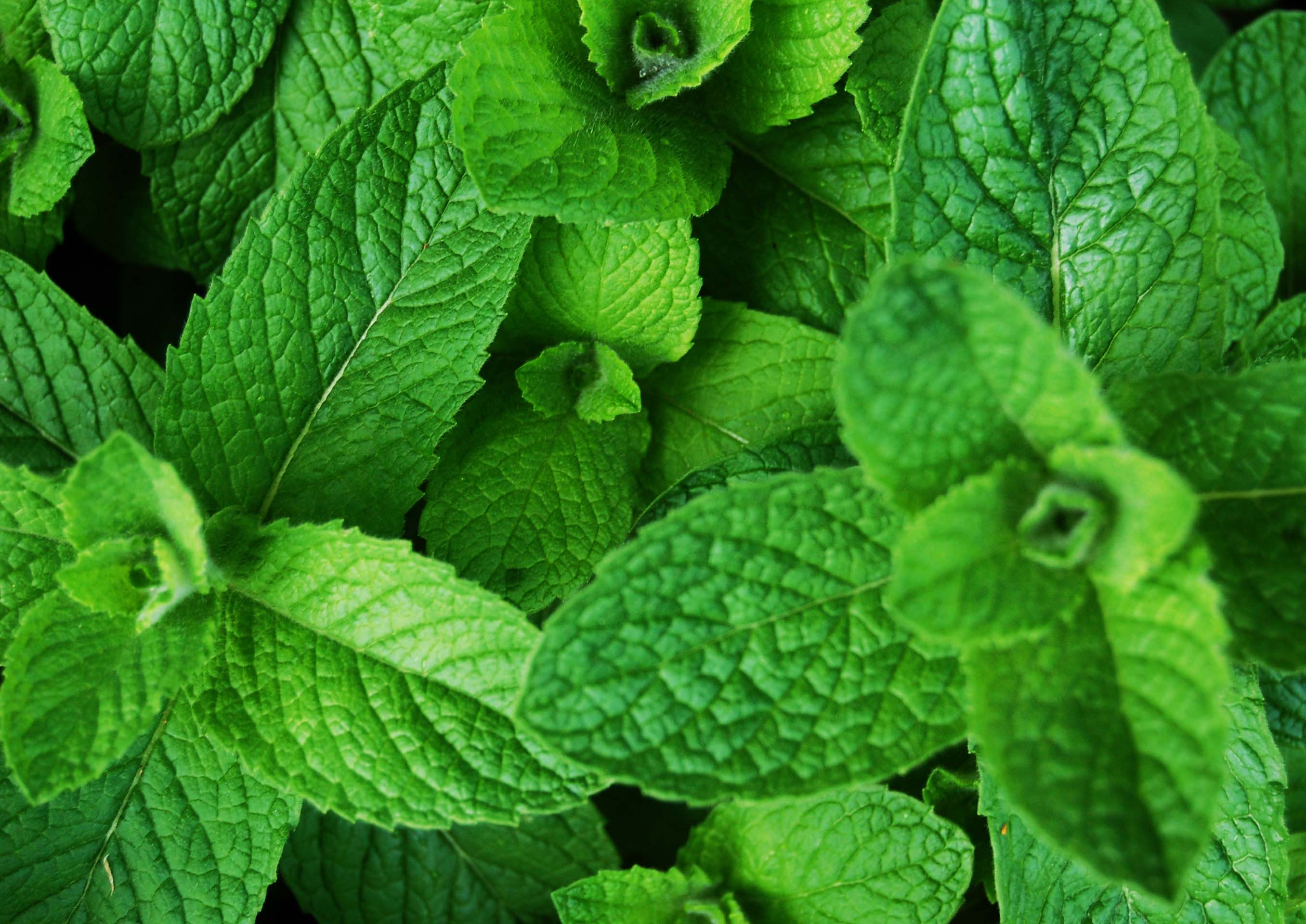 closeup of mint