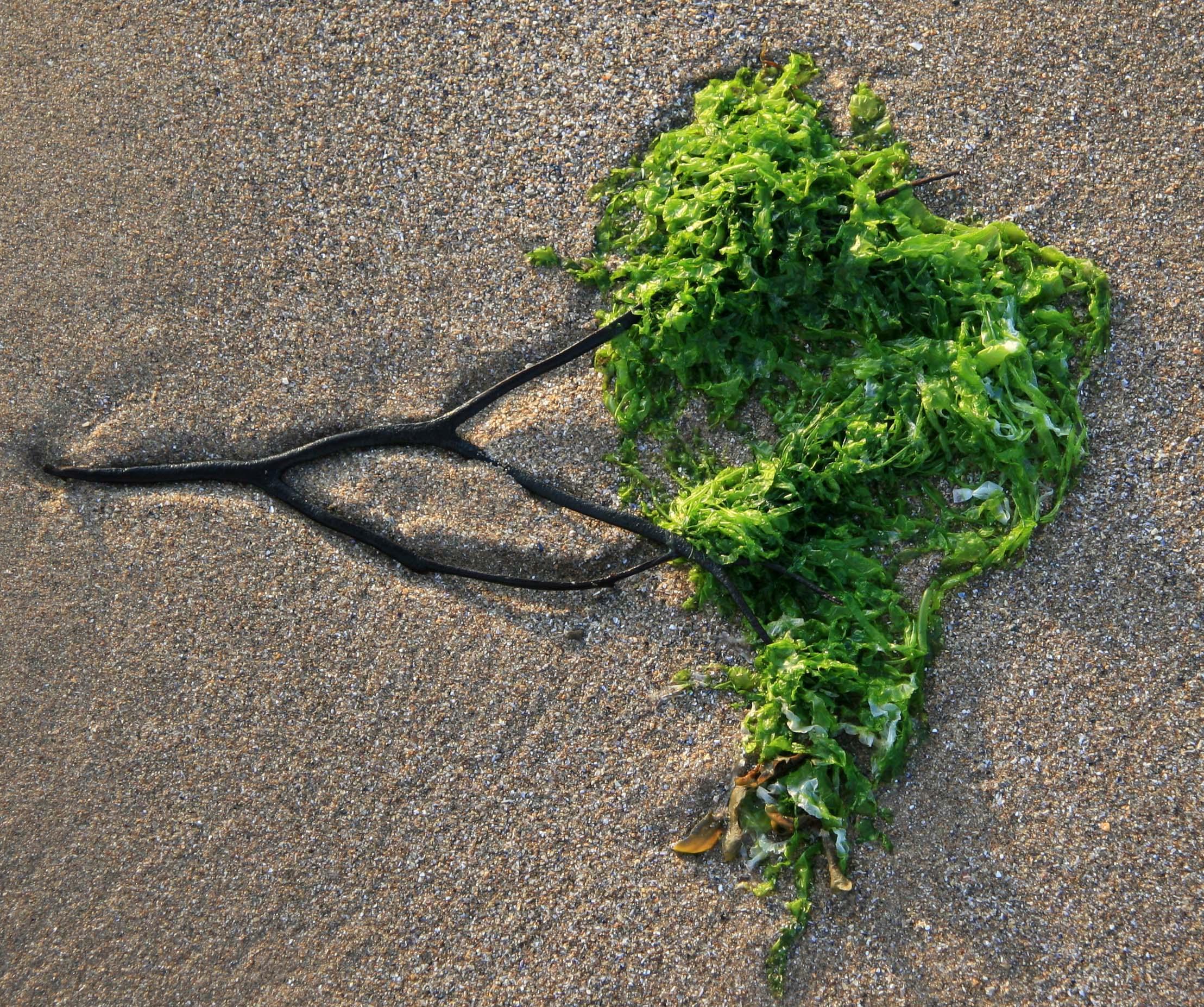 seaweed--aphrodisiac nutrition