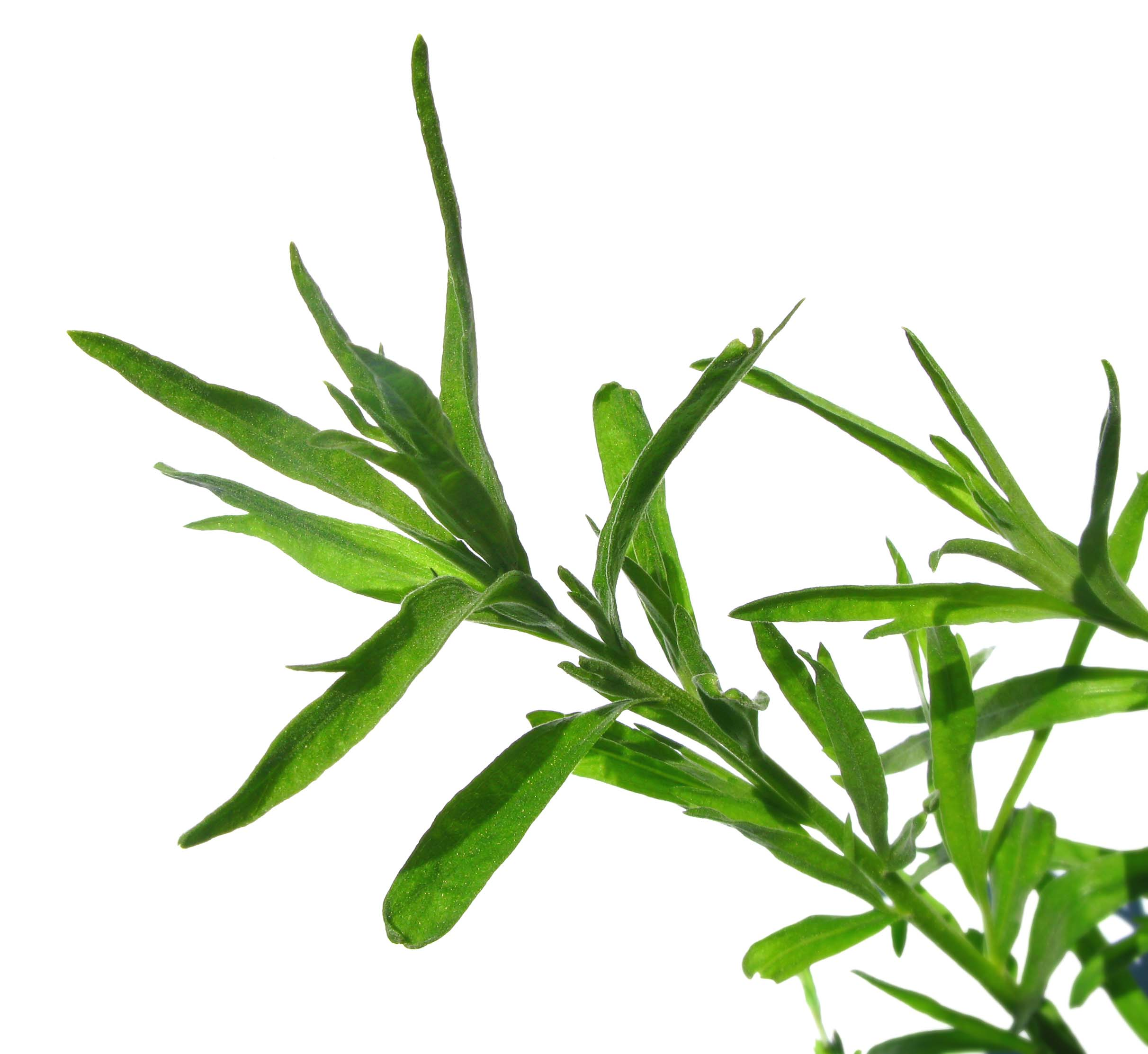 tarragon: the warming herb