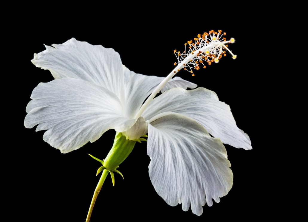 The Health Benefits Of Hibiscus Flower