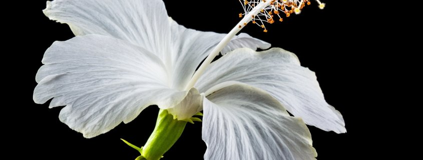 A white blossom on a black background to illustrate the benefits of hibiscus flower