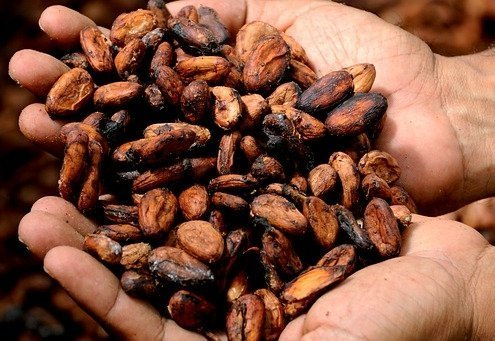two hands holding cacao
