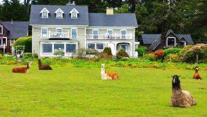 Llamas at the Glendeven Inn