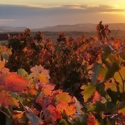 sunset over a vineyard with the leaves changing colors