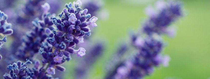 A field of lavender to help illustrate lavender scent and romance