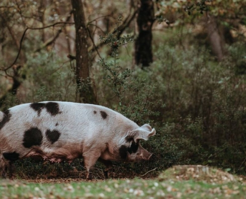 truffle pig under oak trees