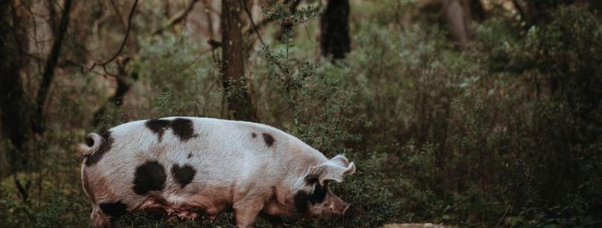 truffle pig under oak trees