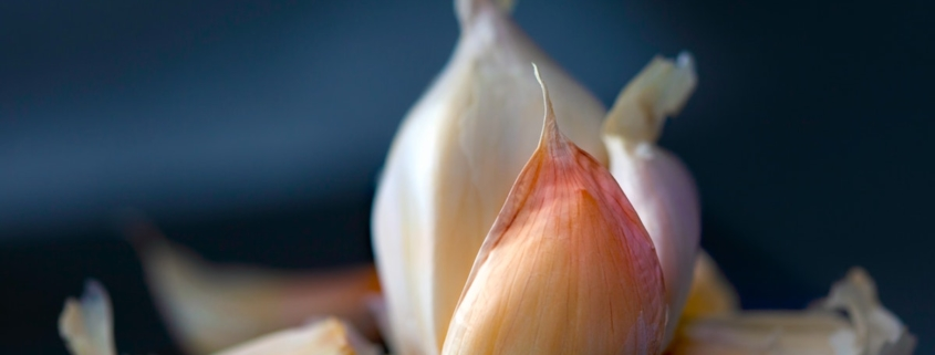closeup of garlic on a dark blue background