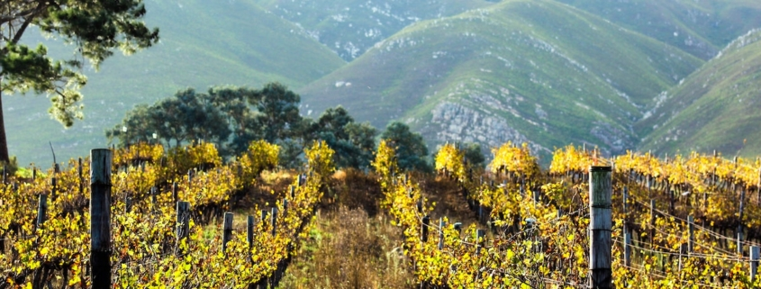 a mountain vineyard in autumn with the leaves starting to yellow
