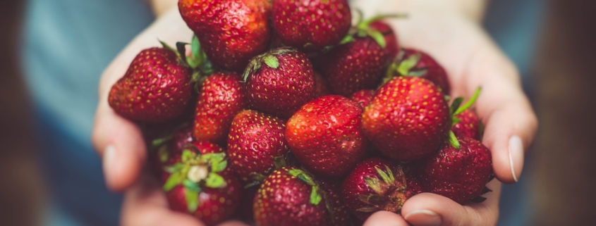 two hands holding out a bunch of ripe strawberries